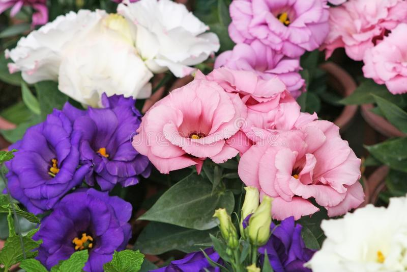 Rosa china colorida imagen de archivo libre de regalías