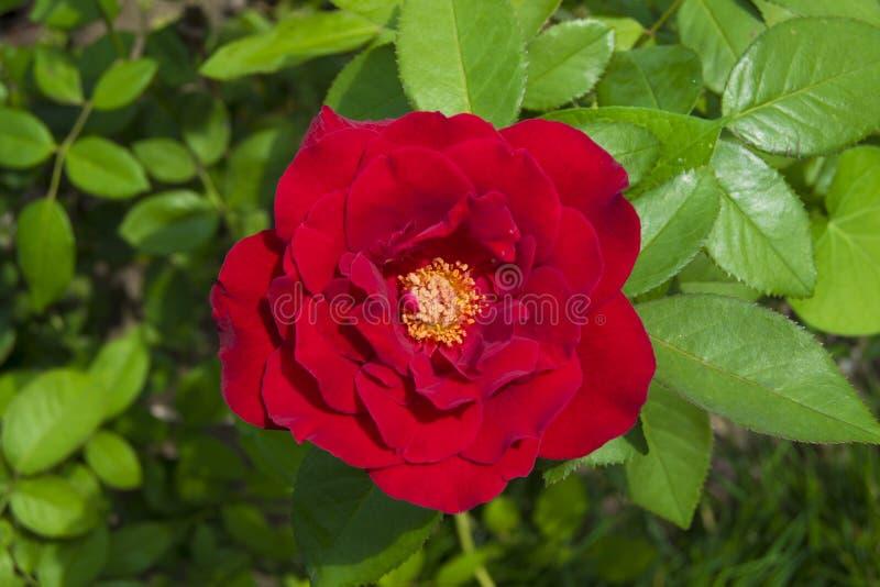 Rosa chinensis στοκ φωτογραφία με δικαίωμα ελεύθερης χρήσης