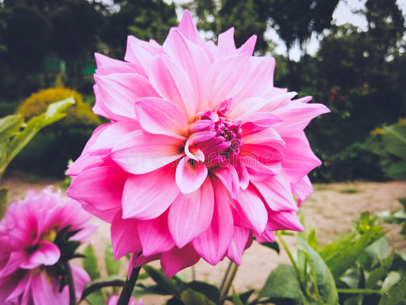 Rosa Chrysantheme stockbild