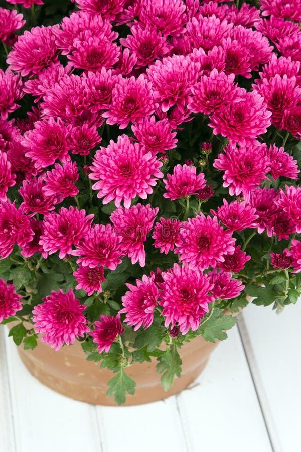 Rosa Chrysanthemen stockbild