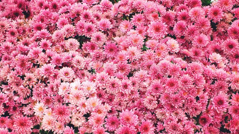 Rosa Chrysanthemenhintergrund Schöne rosa Chrysanthemenblumen im Sommergarten stockbild