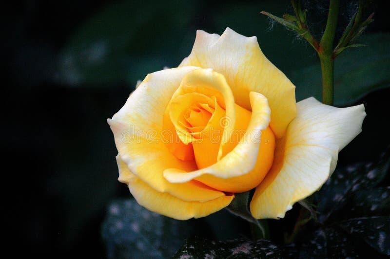 Rosa cinese fotografia stock
