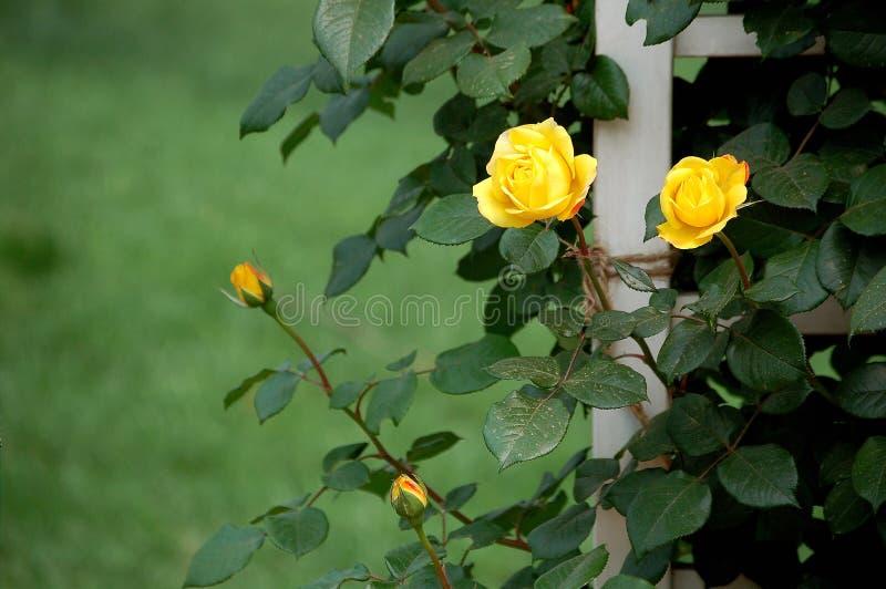 Rosa cinese fotografia stock libera da diritti