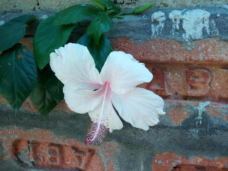 Rosa cinese indiana del fiore di jaba del colpo, vicino al muro di mattoni fotografie stock
