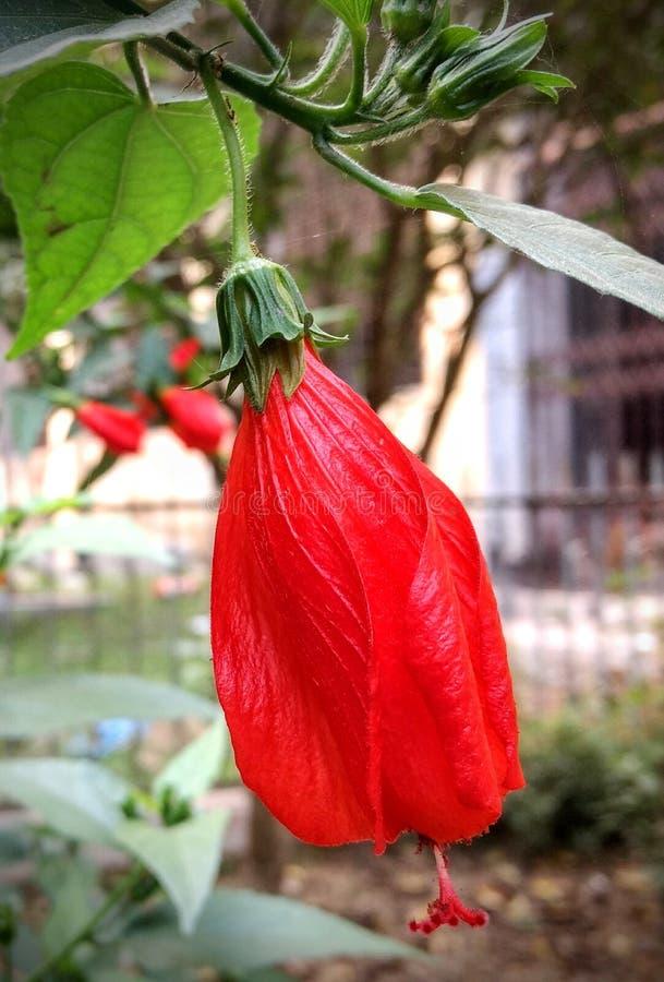 Rosa cinese rossa fotografia stock libera da diritti
