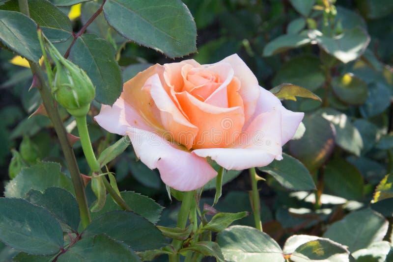 Rosa claro se levantó imagen de archivo libre de regalías