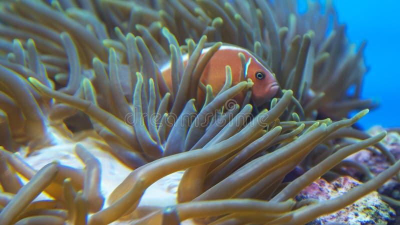 Rosa clownfish schwimmen unter Tentakeln einer Anemone lizenzfreies stockbild