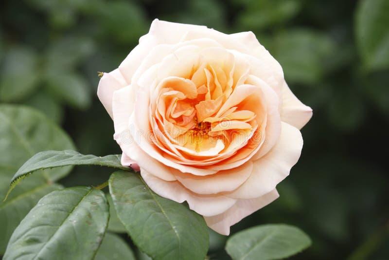 Rosa colorata albicocca immagini stock