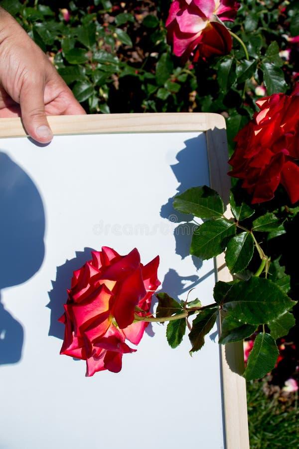 Rosa colorida bonita de florescência em uma placa fotos de stock