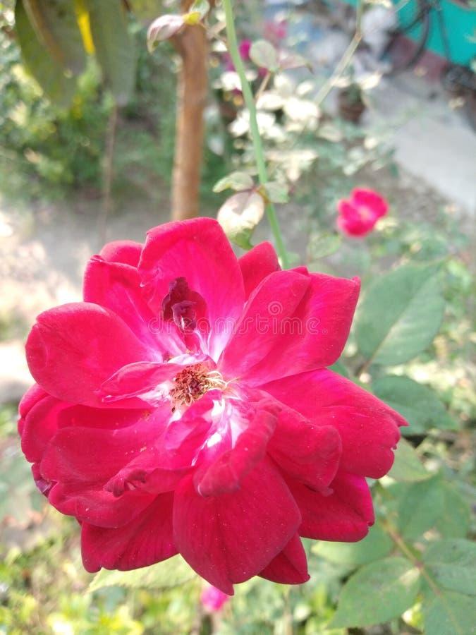 Rosa colorida dentro está olhando tão bonita fotos de stock