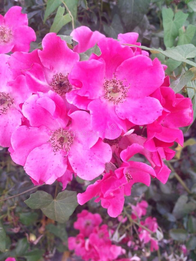 Rosa colorida do rosa imagem de stock