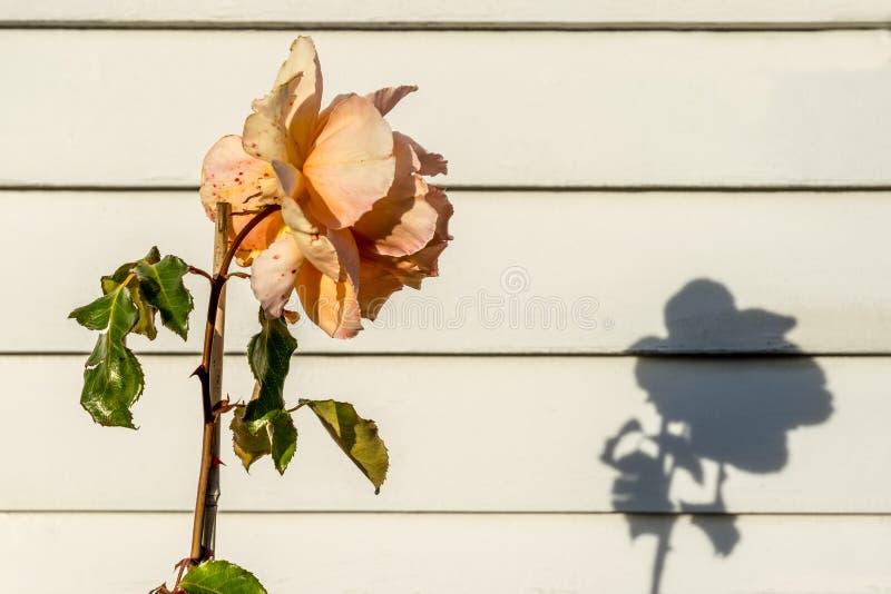Rosa colorida pêssego com sombra imagens de stock royalty free