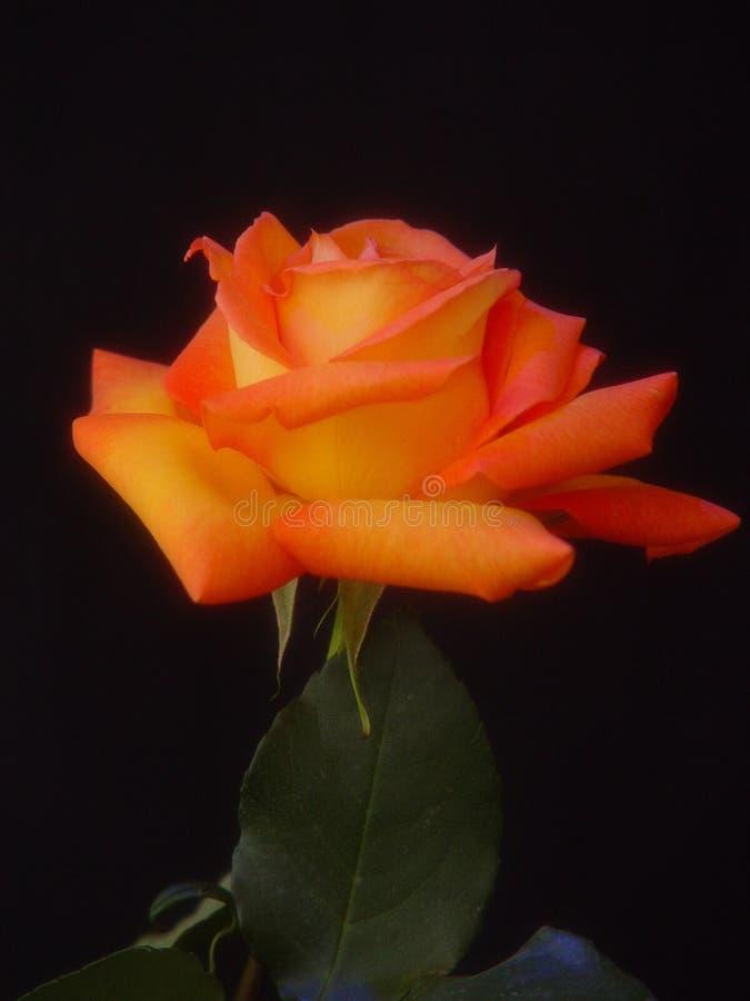 Download Rosa colorido imagem de stock. Imagem de verde, amor, flor - 107977