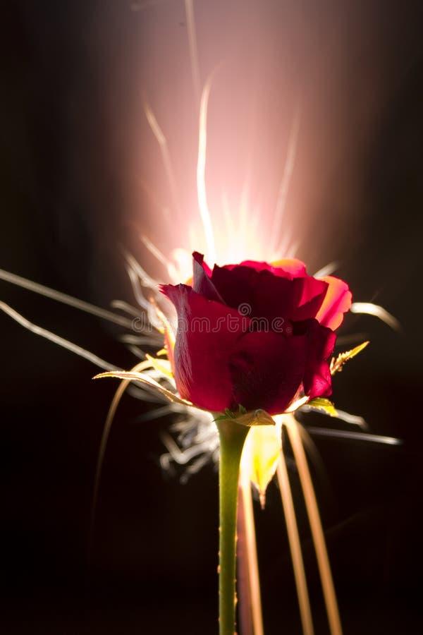 Rosa com fogo-de-artifício imagens de stock royalty free