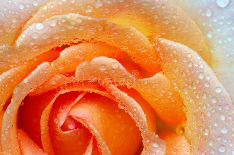 Rosa com gotas imagem de stock royalty free