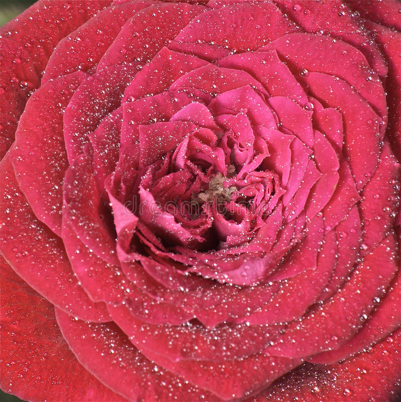 Download Rosa com waterdrops imagem de stock. Imagem de detalhado - 12801855