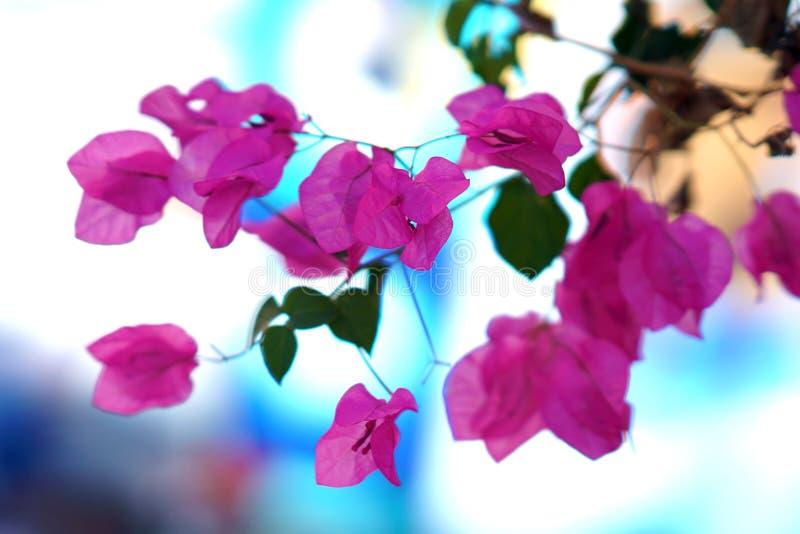 Rosa completo da buganvília da cor em Oia, Cyclades imagem de stock