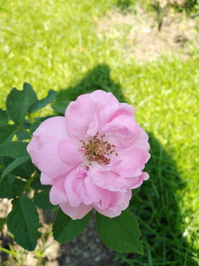 Rosa con colore rosa luminoso immagini stock libere da diritti