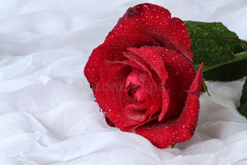Rosa con las gotitas de agua - fondo blanco del rojo fotografía de archivo libre de regalías