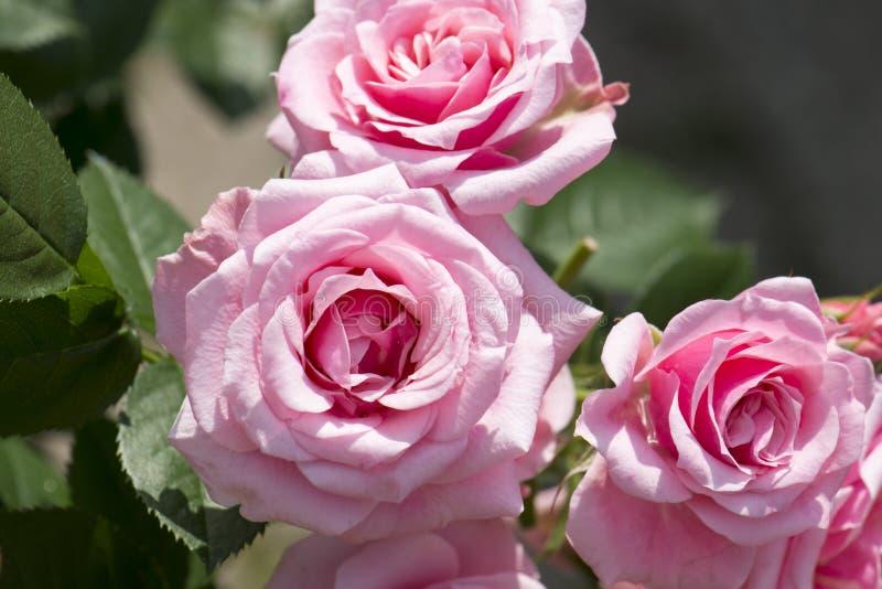 Rosa con le fioriture del thre fotografia stock libera da diritti