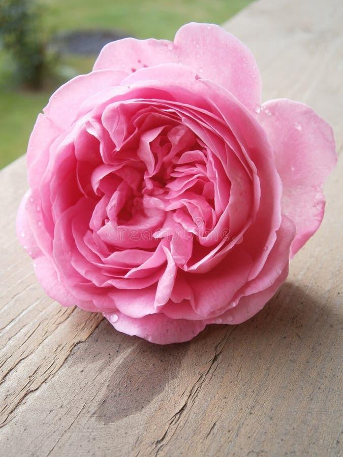Rosa con le gocce di acqua immagine stock