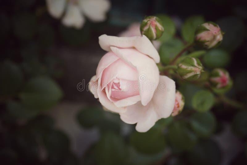 Rosa con los brotes, flor del rosa del vintage foto de archivo