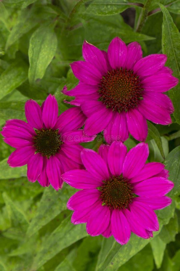 Rosa Coneflowers för närbild Echinacea fotografering för bildbyråer