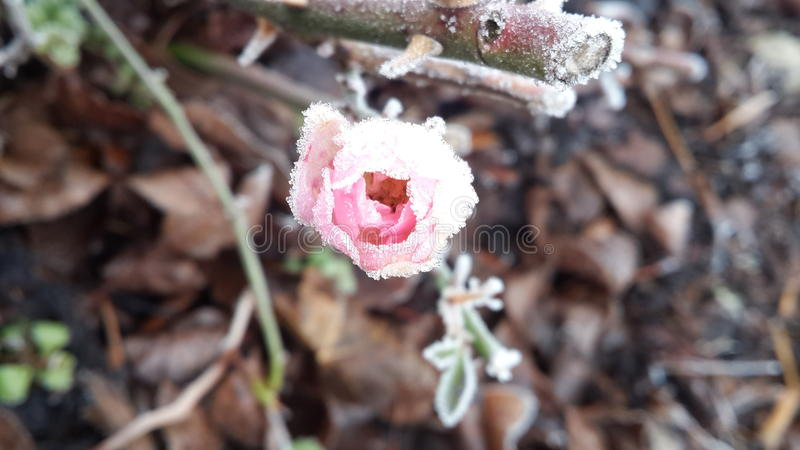 Rosa congelada ainda bonita imagem de stock