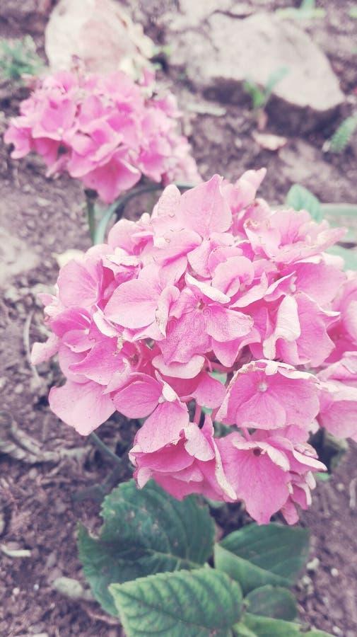 Rosa cor-de-rosa cor-de-rosa foto de stock