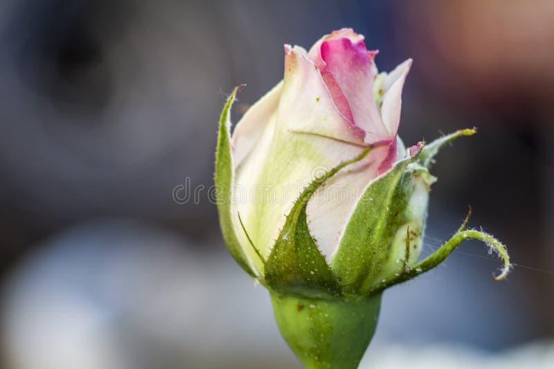 Rosa cor-de-rosa branca no jardim Bot?o fotos de stock