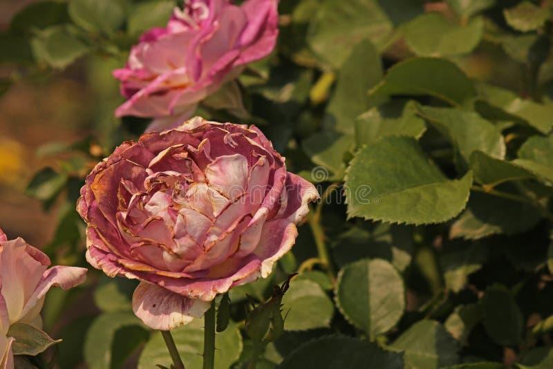 ROSA COR-DE-ROSA COM BORDAS SECADAS foto de stock