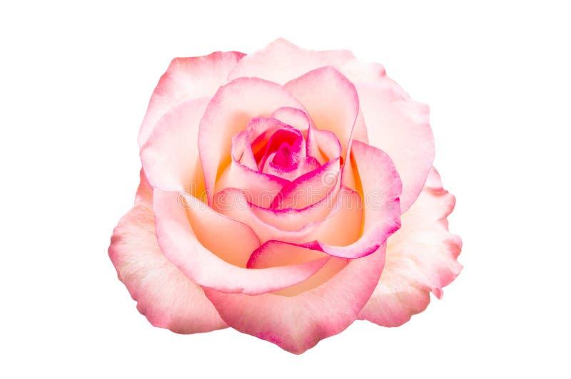 Rosa cor-de-rosa isolada fotografia de stock