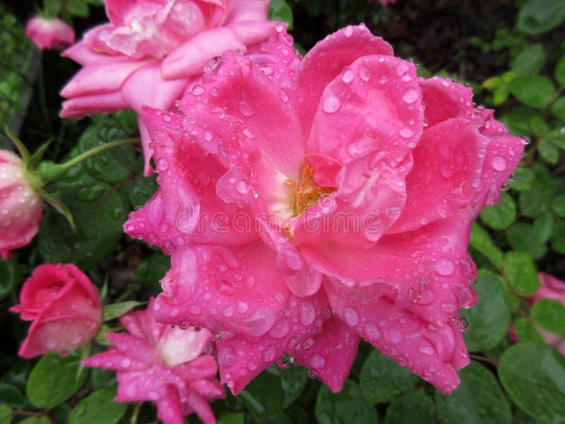 Rosa cor-de-rosa molhada grande foto de stock royalty free
