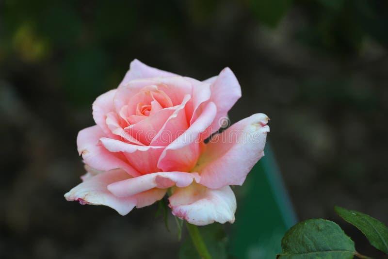 Rosa cor-de-rosa no jardim imagem de stock