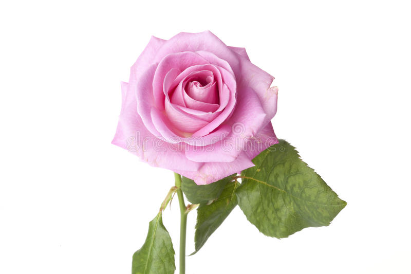 Rosa cor-de-rosa fotos de stock