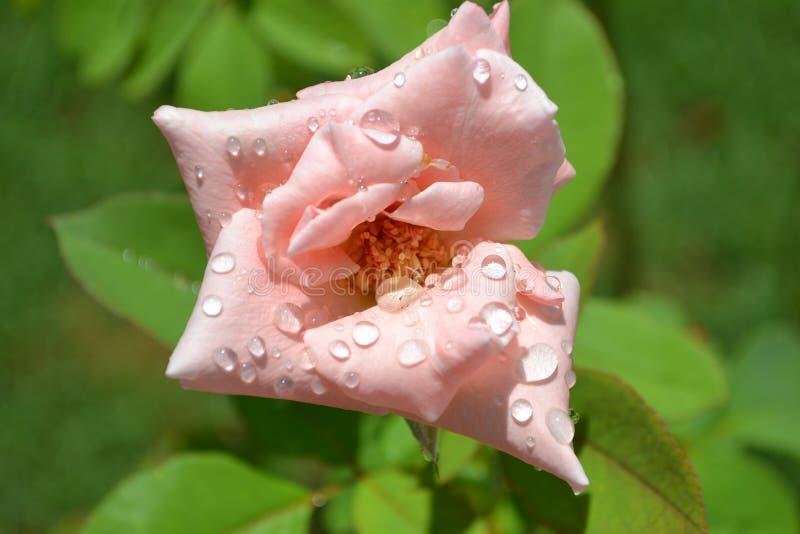 A Rosa cor-de-rosa 2 imagem de stock royalty free