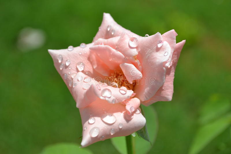 A Rosa cor-de-rosa 3 foto de stock