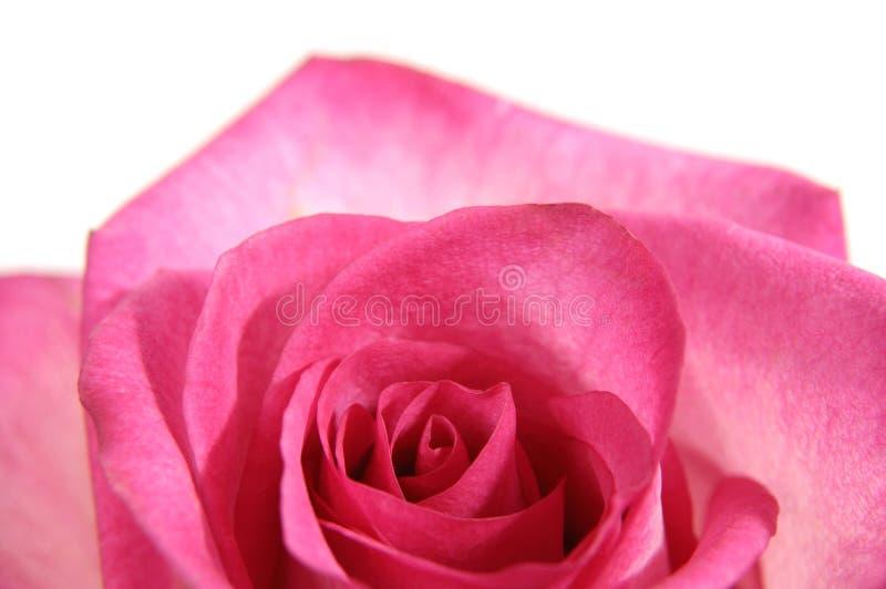 Rosa cor-de-rosa bonita fotografia de stock royalty free