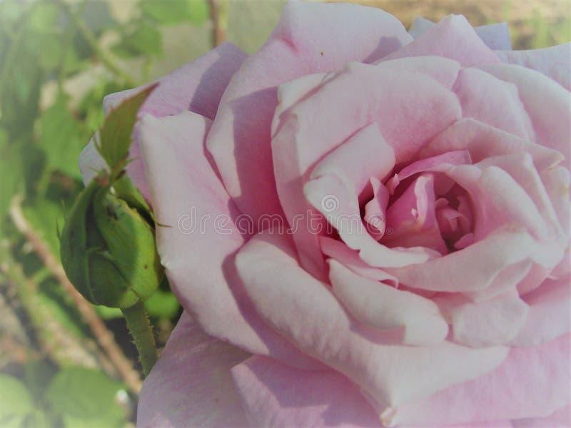 Rosa cor-de-rosa bonita fotos de stock