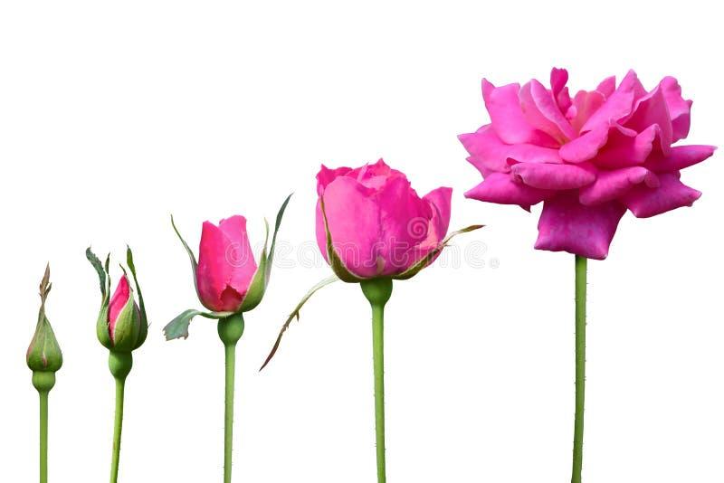Rosa cor-de-rosa cresce o isolado de 5 vezes no fundo branco imagens de stock