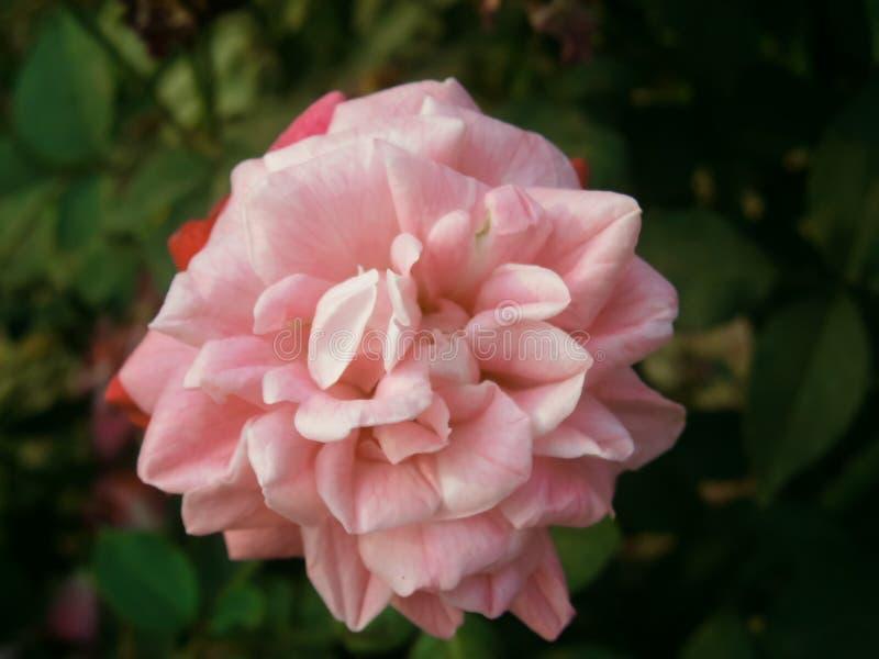 Rosa cor-de-rosa do branco foto de stock royalty free