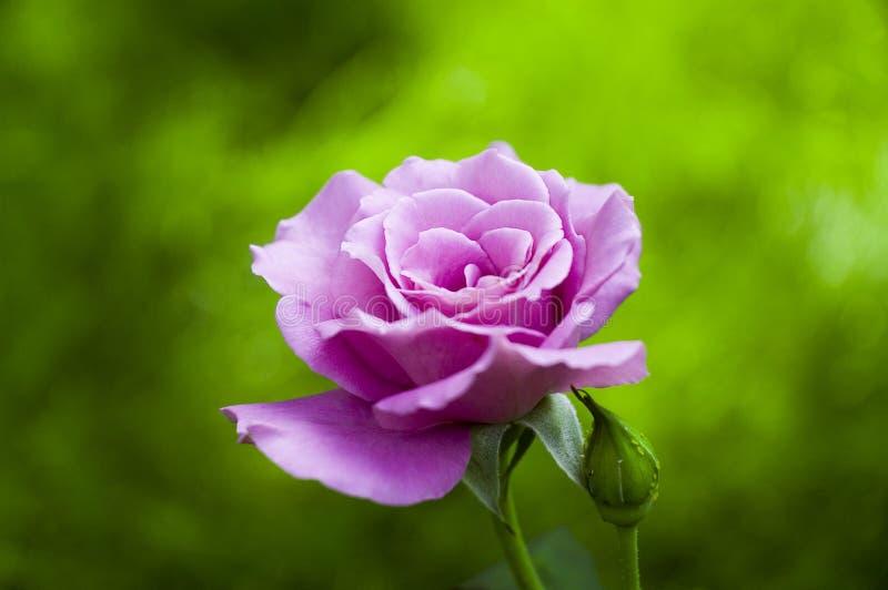 Rosa cor-de-rosa em um dia de mola imagens de stock