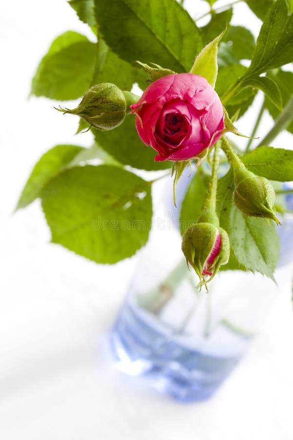 Rosa cor-de-rosa no vaso de vidro azul imagens de stock royalty free