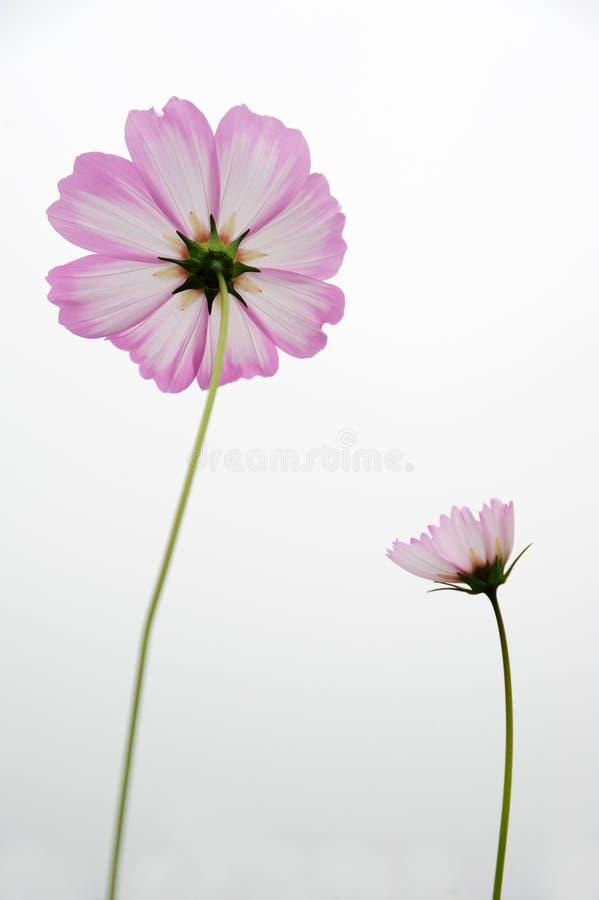 Rosa Coreopsisblumen lizenzfreie stockfotografie