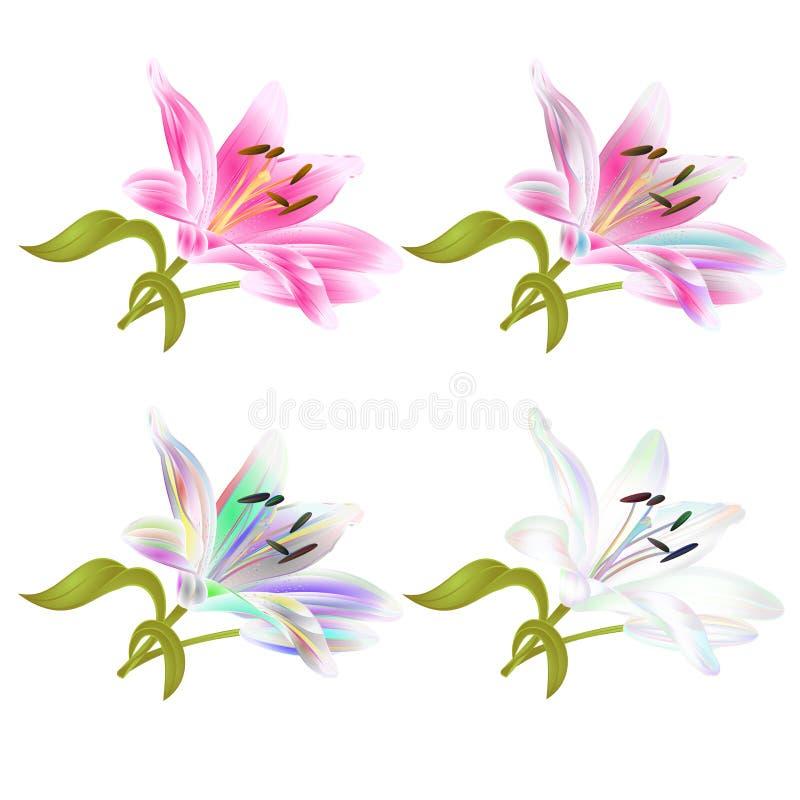 Rosa da flor de StemStem Lil Lily e Lilium colorido candidum em uma tração editável da mão da ilustração branca do vetor do ilustração do vetor