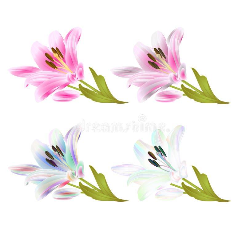 Rosa da flor do lírio da haste e multi Lilium colorido candidum em uma tração editável da mão da ilustração branca do veto ilustração do vetor