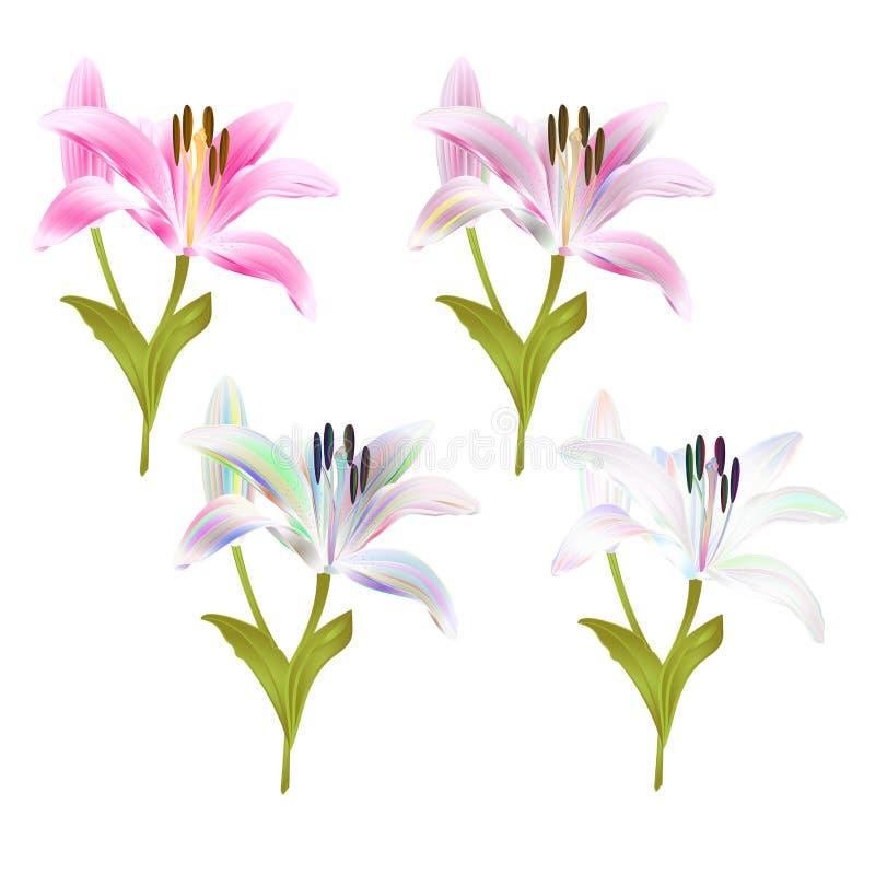 Rosa da flor do lírio da haste e multi Lilium colorido candidum em uma tração editável da mão da ilustração branca do veto ilustração royalty free