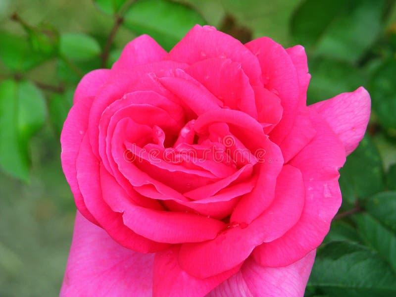 Rosa da Holanda imagens de stock royalty free