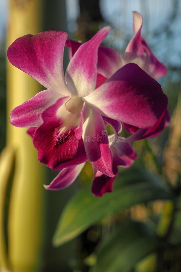 Rosa da orquídea, branco no jardim imagem de stock