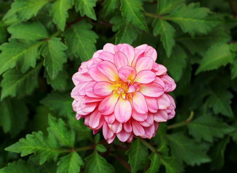 Rosa dahilablomma royaltyfria foton